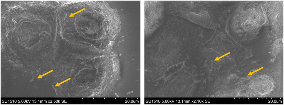 SEM microscopy images showing lactobacilli adhered to the intestinal epithelial cells membrane in the presence of peptides from fermented colostrum